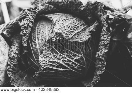 Vintage Black And White Shot Of A Savoy Cabbage