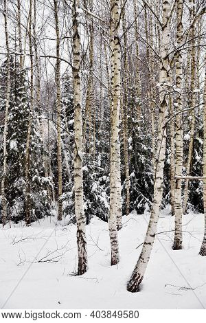 Birch Trees After A Snowfall On A Winter Cloudy Day. Birch Branches Covered With Stuck Snow.