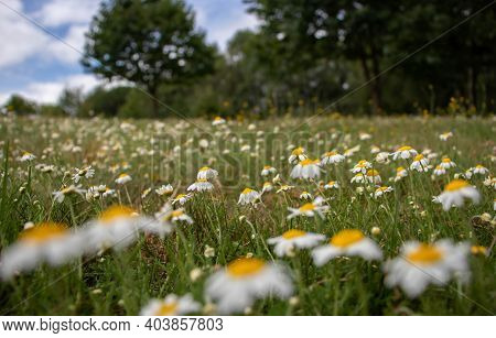 Summer Meadow Landscape With Oxeye Daisy Flowers, Grass,tree And Clouds.