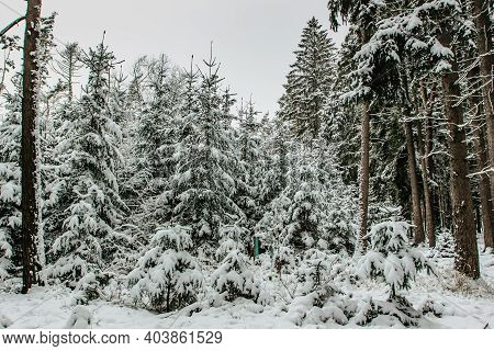 Snow Covered Trees In The Winter Forest.christmas Holiday Background With Snowy Fir Trees.frosty Col