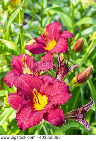 Daylily (hemerocallis) Is Genus Of Plants Of Subfamily Daylily Family Asphodelaceae. Red Blooming Fl