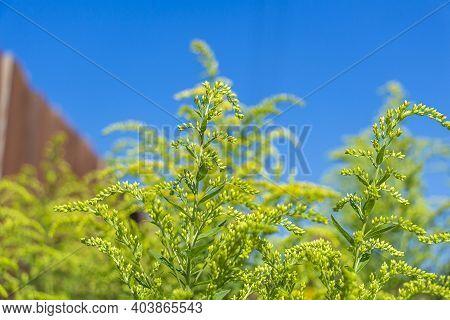 Giant Goldenrod, Golden Rozga Gigant (solidago Gigantea), Is Species Of Dicotyledonous Flowering Pla