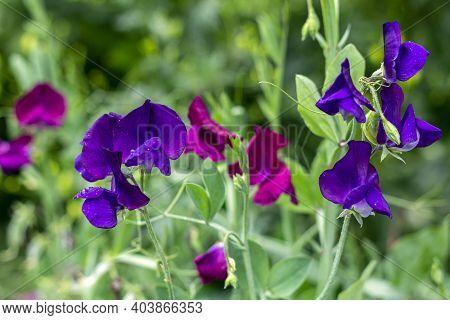 Fragrant Rank (lathyrus Odoratus), Or Soulful Pea, Is Flowering Herb Of Genus China (lathyrus) Of Le