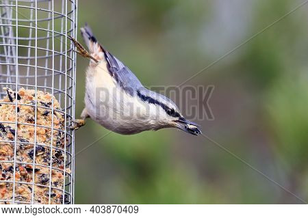 Eurasian Nuthatch Is Blue-backed Short-tailed Colorful Bird