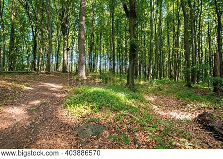 Beech Trees With Fresh Green Foliage In Sunlight. Path Through Beautiful Nature Forest Scenery In Su