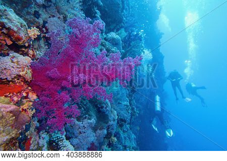 Beautiful Tropical Coral Reef With Purple Soft Coral. Scuba Divers Near Underwater Wall On The Backg