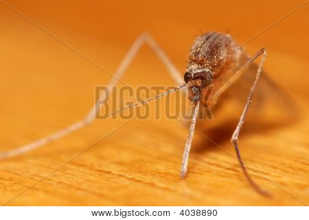 Macro Of Mosquito With Scary Trunk - Super Close-Up