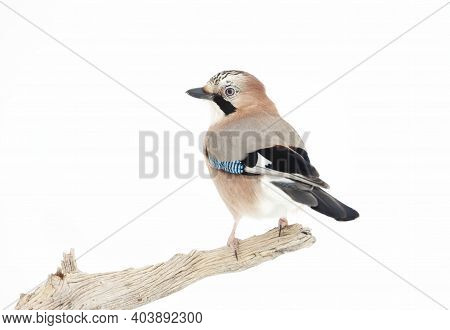 Close Up Of An Eurasian Jay (garrulus Glandarius) Perched On A Tree Branch In Winter, Norway.