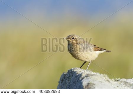 Close Up Of A Juvenile Northern Wheatear (oenanthe Oenanthe) Perched On A Rock Against Green Backgro