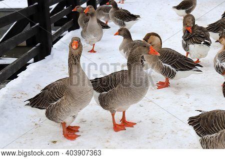 Beautiful Gray Pedigreed, Fat Geese Walk On The Farm In Winter. Goose Farm, Fattened Geese, Waterfow