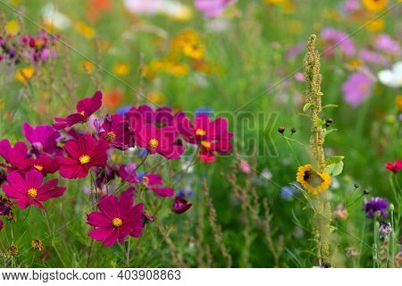 Colorful purple cosmos flowerbed in September, France