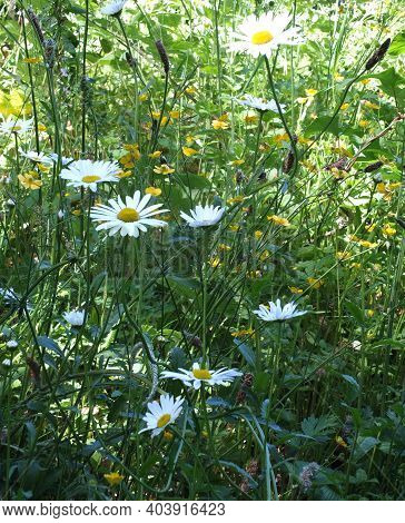 Close Up Of Ox Eye Daisies And Buttercups Growing In A Summer Meadow