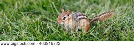 Cute Small Striped Brown Chipmunk Sitting In Green Grass. Yellow Ground Squirrel Chipmunk Tamias Str