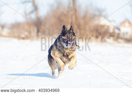 German Shepherd Dog During Outdoor Training. Training A Young Shepherd Dog.