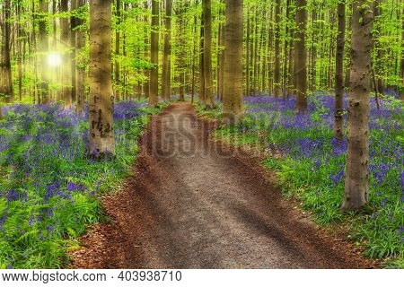 Famous forest Hallerbos in Brussels Belgium - nature background