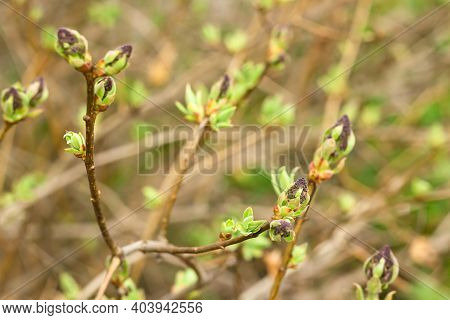 Closeup Of Young Blooming Flower Buds On Branch Of Lilac Tree, Tender Shoots Of Purple Floral And Fr
