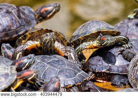 Group Of Red-eared Slider Or Trachemys Scripta Elegans In Pool. Dozens Of Yellow-bellied Slider Turt