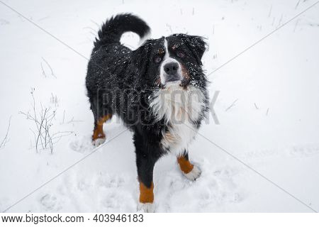 Bernese Mountain Dog With Snow On His Head. Happy Dog Walk In Winter Snowy Weather