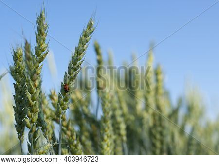Ladybug Beetle Sits On Spikelets Of Barley Close-up. Ladybug On A Young Green Spikelet, Insect On Wh
