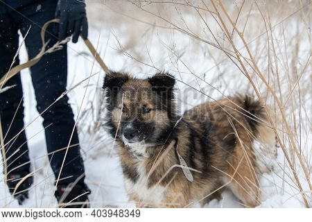 Dog With Thick Shaggy Coat Stands On Snow Near Man With Leash. Owner With His Pet Walk In Forest On