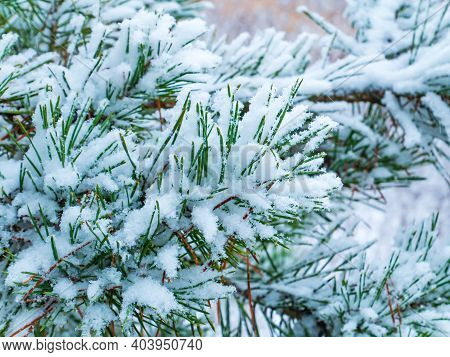 Green Branches Of A Pine Tree In The Snow. Snow Blizzard. Forest. Pine Tree. Winter Season. Merry Ch