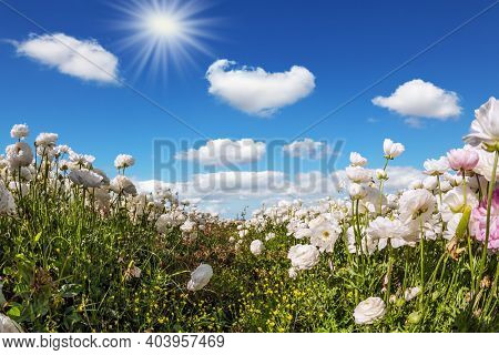 Picturesque field of blooming large white ranunculus - buttercups. Hot sun and light clouds on a fine spring day. Israel. The concept of botanical, environmental and photo tourism