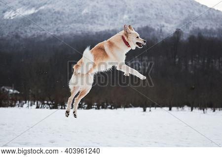 Adorable White Fluffy Pet Dog With Red Collar Walks In Winter Snow Park. Half-breed Sheepdog And Hus