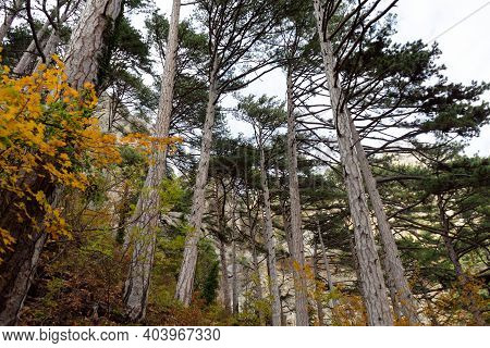 Autumn Fir Forest With Dense Trees In The Foreground On The Mountain. Soft Focus