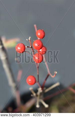 Heavenly Bamboo Fire Power Red Berries - Latin Name - Nandina Domestica Fire Power