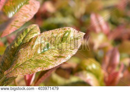 Photinia Pink Crispy - Latin Name - Photinia Serratifolia Pink Crispy (photinia Serrulata Pink Crisp