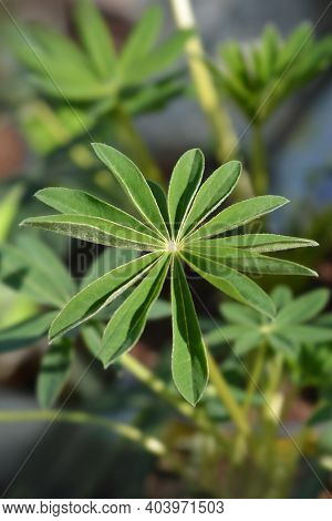 Lupin Russel Hybrids Leaves - Latin Name - Lupinus Russel Hybrids