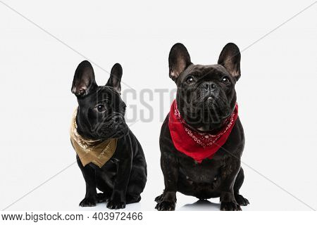 two beautiful french bulldog dogs looking aside and up, wearing bandanas and sitting next to each other