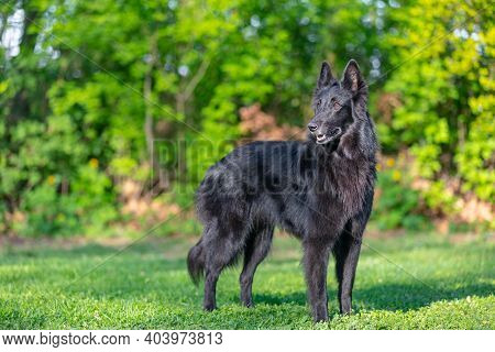 Autumn Portrait Of Black Groenendael Dog With Orange Background. Working Agility Belgian Shepherd Gr