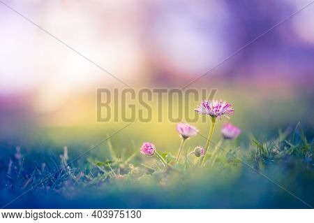 Floral Summer Spring Background. Pink Flowers Close-up In A Field On Nature On A Bright Sunset Backg