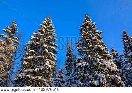 A Bottom View Of The Spruce Trees In The Snow Against The Background Of A Dark Blue Cloudless Sky. T