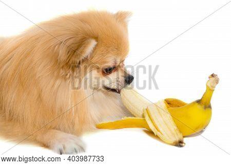 Pomeranian Eats A Banana. Dog Eating Fruit On White Background. Pomeranian Elite Isolate. Food