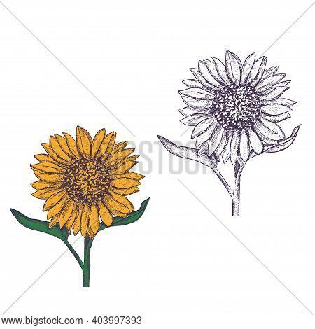 Sunflower Illustration. Engraved Vintage Style.vector Antique Engraving Drawing Illustration Of Sunf