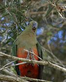 female king parrot Alisterus scapularis in the wild in an australian bush setting poster
