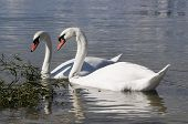 A pair of white swans swimming together. poster