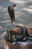 King cobra snake in northern India . poster