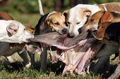 Foxhounds after parforce hunt being rewarded with inwards this is called curee poster