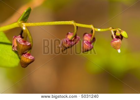 Buds Of Miner's Lettuce Claytonia Perfoliata