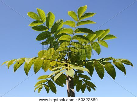 Young Manchurian walnut tree