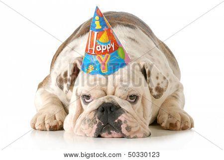 sad birthday dog - english bulldog wearing birthday hat isolated on white background