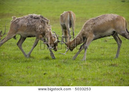 Two Bucks Fighting For Domination