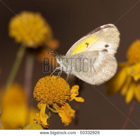 Diminutive Little Yellow, Eurema lisa, butterfly feeding on a Sneezeweed in fall