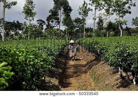 Women at Tea Plantation