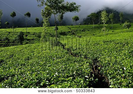 Tea Plantation on High Mountain