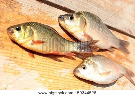 Caught Red And White Crucians On The Wood