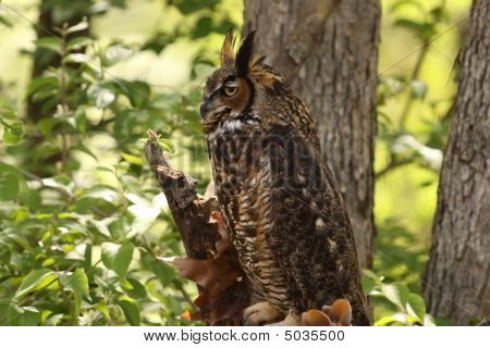 Profile of a Great Horned Owl perched in a tree. poster